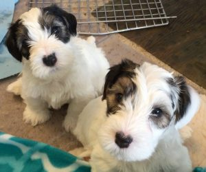 Available Sealyham Terriers